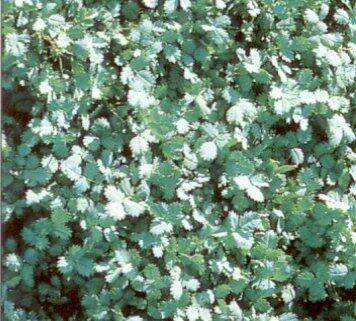 Plazilka Buchananova - Acaena buchananii
