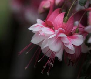 Čílko, fuchsie 'El Camino' - Fuchsia hybrida 'El Camino'