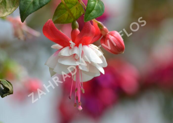 Čílko, fuchsie 'Omar Giant' - Fuchsia hybrida 'Omar Giant'