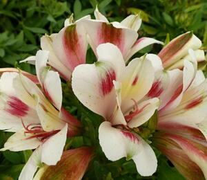 Alstromérie, boubelka 'Inticancha Creamy Dark Pink' - Alstroemeria hybrida 'Inticancha Creamy Dark Pink'