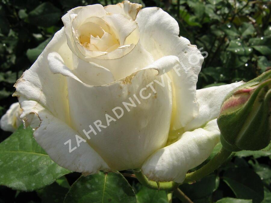 Růže velkokvětá 'Mount Shasta' - Rosa VK 'Mount Shasta'