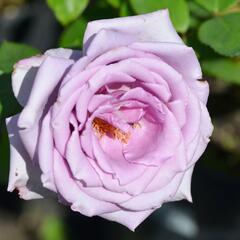 Růže velkokvětá Tantau 'Mainzer Fastnacht' - Rosa VK 'Mainzer Fastnacht'
