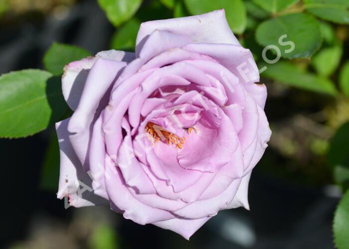 Růže velkokvětá 'Mainzer Fastnacht' - Rosa VK 'Mainzer Fastnacht'