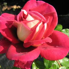 Růže velkokvětá 'Kronenbourg' - Rosa VK 'Kronenbourg'