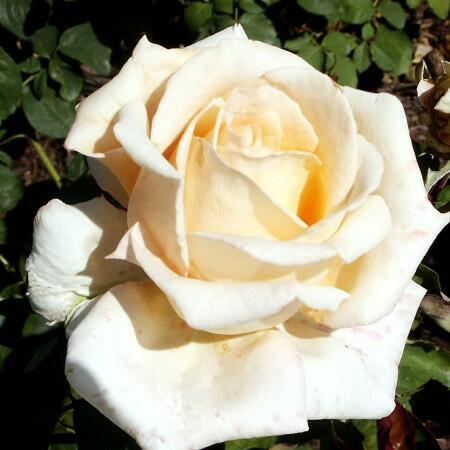 Růže velkokvětá 'Helenka' - Rosa VK 'Helenka'
