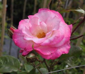Růže pnoucí 'Handel' - Rosa PN 'Handel'