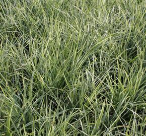 Sedoulek japonský 'Silver Mist' - Ophiopogon japonicus 'Silver Mist'
