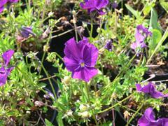 Violka růžkatá 'Roem van Aalsmer' - Viola cornuta 'Roem van Aalsmer'