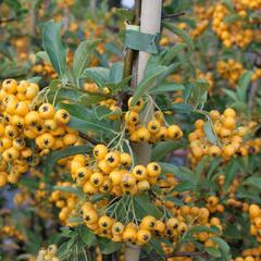 Hlohyně šarlatová 'Golden Charmer' - Pyracantha coccinea 'Golden Charmer'