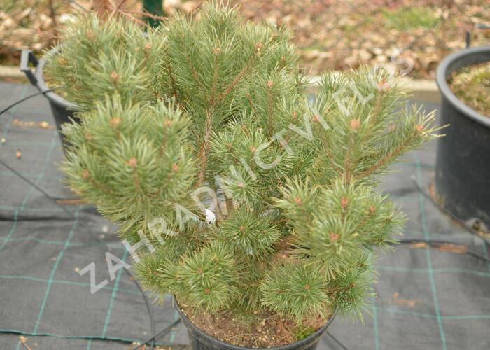 Borovice lesní 'Compressa' - Pinus sylvestris 'Compressa'