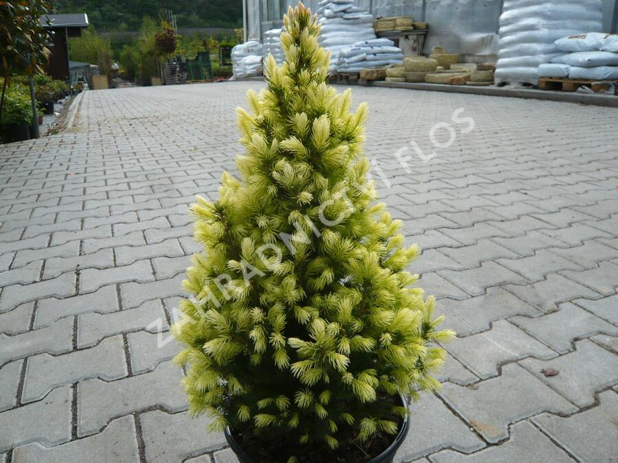 Smrk sivý 'Daisy's White' - Picea glauca 'Daisy's White'