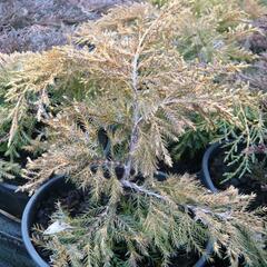 Jalovec prostřední 'King of Spring' - Juniperus media 'King of Spring'