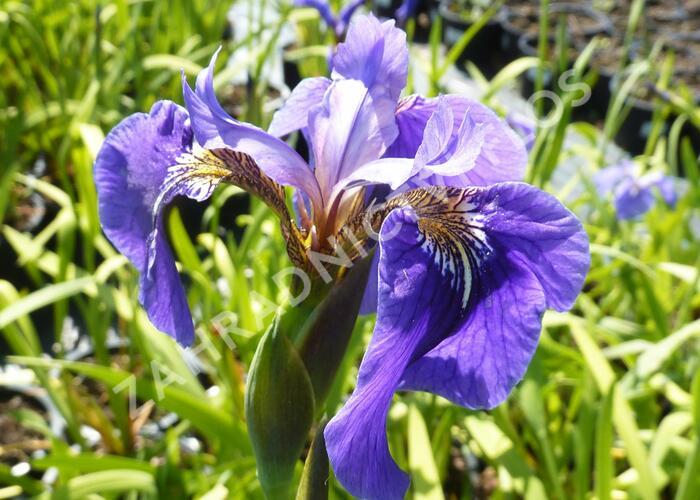 Kosatec (hookeri) - Iris setosa (hookeri)