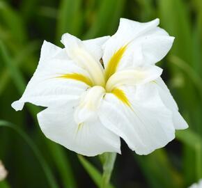 Kosatec mečovitý 'White Ladies' - Iris ensata 'White Ladies'