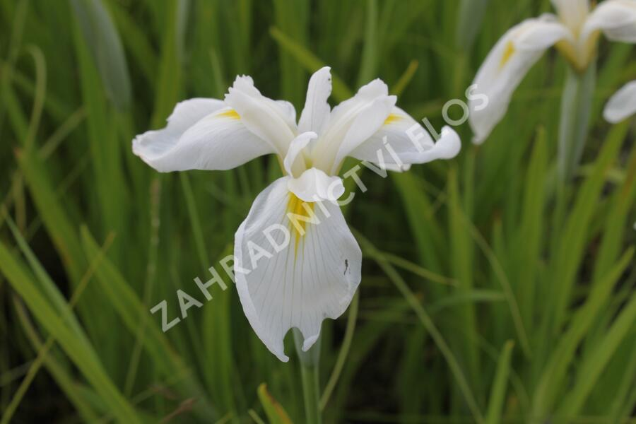 Kosatec mečovitý 'Diamant' - Iris ensata 'Diamant'