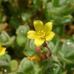 Třezalka - Hypericum elodes