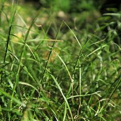 Ostřice muskingumská 'Little Midge' - Carex muskingumensis 'Little Midge'