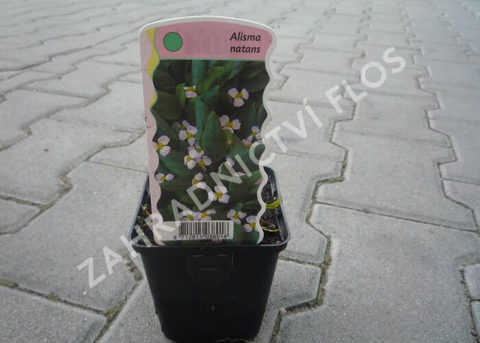 Žabníček vzplývavý - Alisma natans