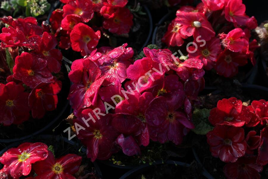 Prvosenka 'Wanda Red' - Primula juliae 'Wanda Red'