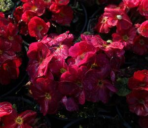 Prvosenka 'Wanda' Re' - Primula juliae 'Wanda' Red