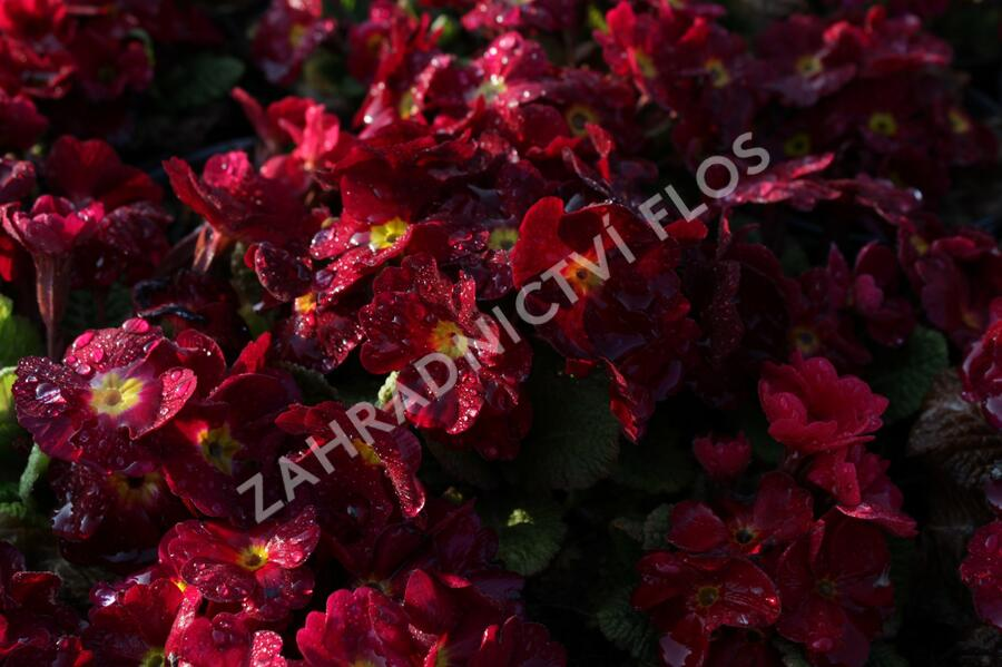 Prvosenka 'Wanda' Dark Ros' - Primula juliae 'Wanda' Dark Rose