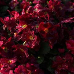 Prvosenka 'Wanda Dark Rose' - Primula juliae 'Wanda Dark Rose'