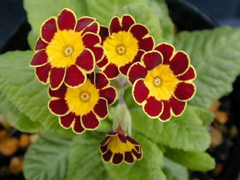 Prvosenka vyšší 'Gold Lace Red' - Primula elatior 'Gold Lace Red'