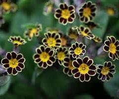 Prvosenka vyšší 'Gold Lace Black' - Primula elatior 'Gold Lace Black'