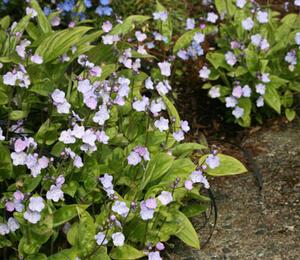 Pupkovec kapadský 'Lilac Mist' - Omphalodes cappadocica 'Lilac Mist'