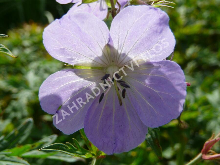 Kakost luční - Geranium pratense