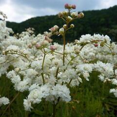 Tužebník obecný 'Plena' - Filipendula vulgaris 'Plena'