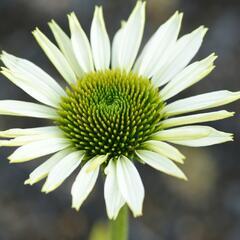 Třapatka nachová 'Primadonna White' - Echinacea purpurea 'Primadonna White'