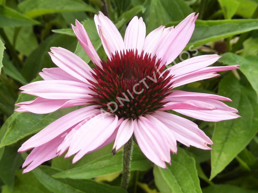 Třapatka nachová 'Prairie Splendor' - Echinacea purpurea 'Prairie Splendor'