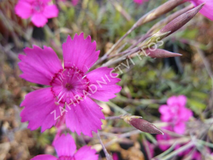 Hvozdík kropenatý 'Confetti Karminrosa' - Dianthus deltoides 'Confetti Karminrosa'