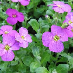 Tařička kosníkovitá 'Axcent Lilac' - Aubrieta deltoides 'Axcent Lilac'