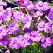 Tařička kosníkovitá 'Axcent Dark Purple' - Aubrieta deltoides 'Axcent Dark Purple'