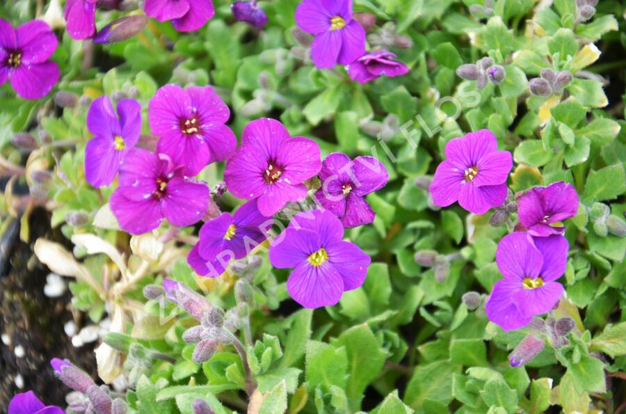 Tařička kosníkovitá 'Axcent Dark Purple' - Aubrieta deltoides 'Axcent Dark Purple'
