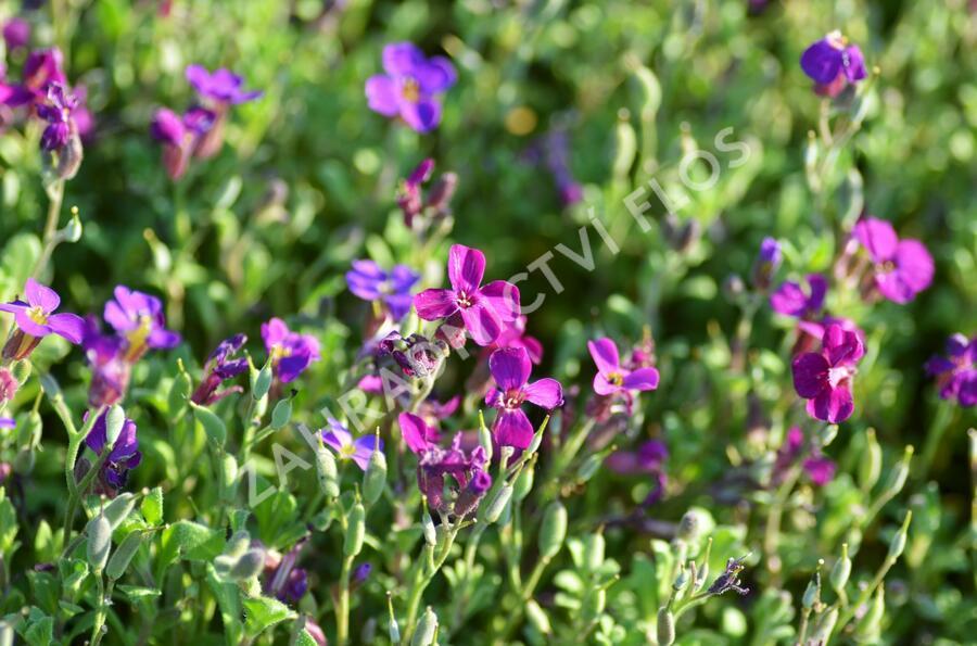 Tařička kosníkovitá 'Audrey Red Purple' - Aubrieta deltoides 'Audrey Red Purple'