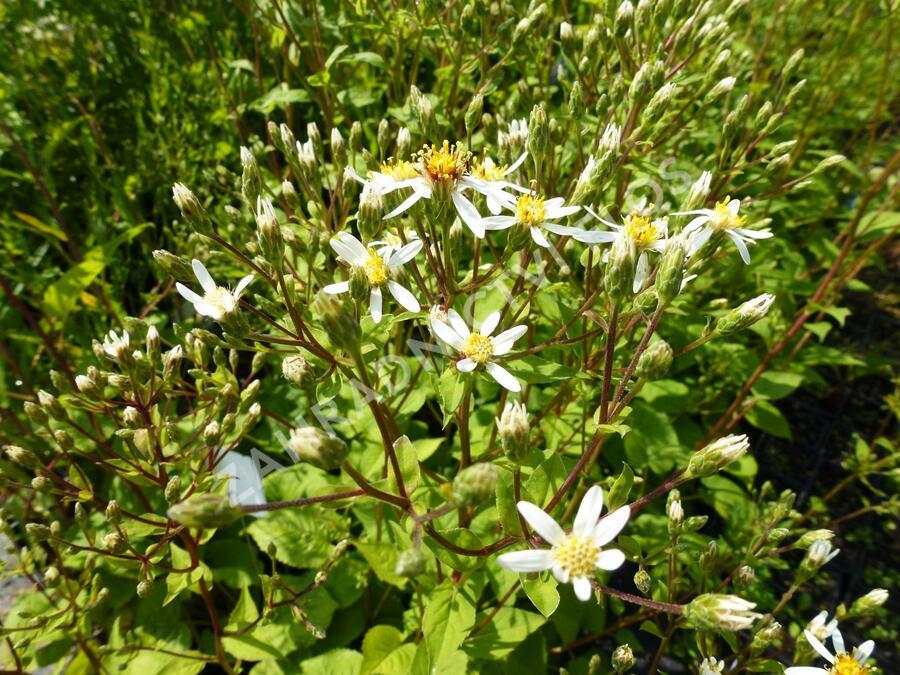 Hvězdnice velkolistá 'Albus' - Aster macrophyllus 'Albus'