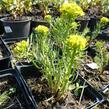 Pryšec chvojka 'Betten' - Euphorbia cyparissias 'Betten'