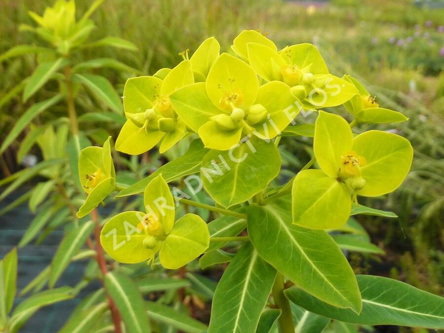 Pryšec 'Goldener Turm' - Euphorbia cornigera 'Goldener Turm'