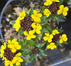 Trýzel 'Goldstaub' - Erysimum suffruticosum 'Goldstaub'
