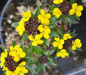 Trýzel 'Goldstaub' - Erysimum suffruticosum 'Goldstaub'