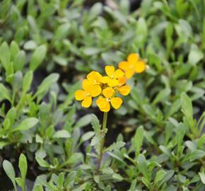 Trýzel 'Orange Flame' - Erysimum linifolium 'Orange Flame'
