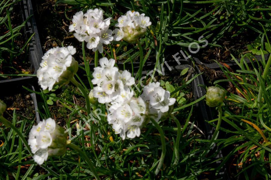 Trávnička přímořská 'Morning Star White' - Armeria maritima 'Morning Star White'