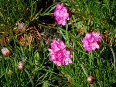 Trávnička přímořská 'Leuchtendrosa' - Armeria maritima 'Leuchtendrosa'