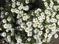Písečnice horská 'Vanilla' - Arenaria montana 'Vanilla'