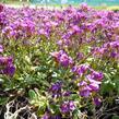 Huseník kavkazský 'Little Treasure Rose' - Arabis caucasica 'Little Treasure Rose'