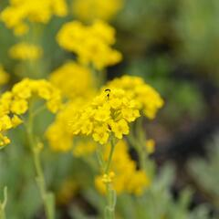 Tařice skalní 'Summit Golden Yellow' - Alyssum saxatile 'Summit Golden Yellow'