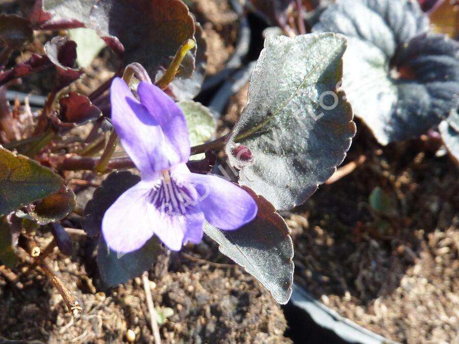 Violka - Viola labradorica